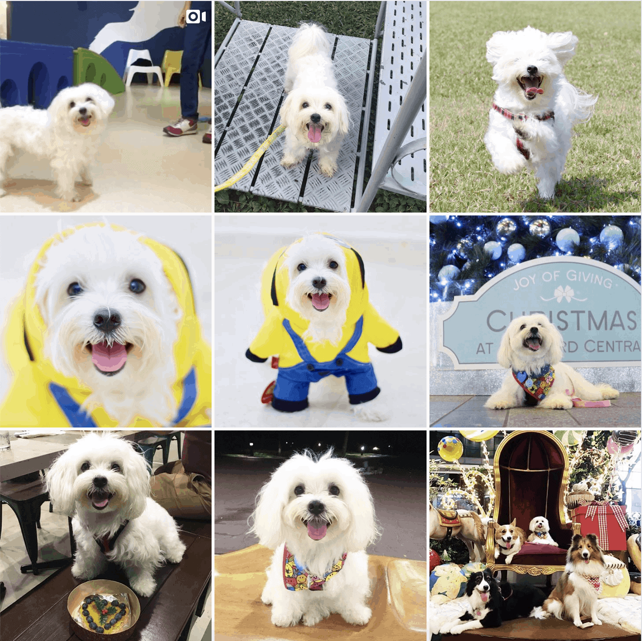 Cottonthemaltese Instagram